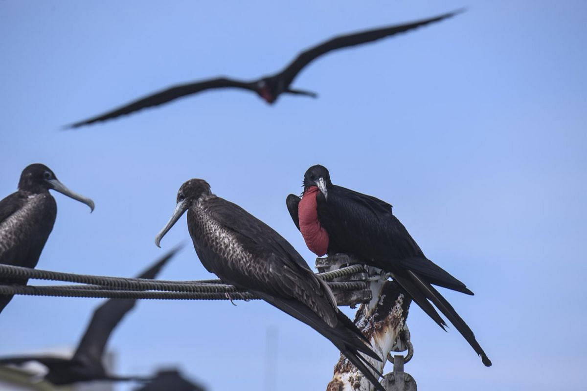During El Nino years, sea birds such as the magnificent frigatebirds (pictured) and blue-footed boobies are unable to feed their chicks.