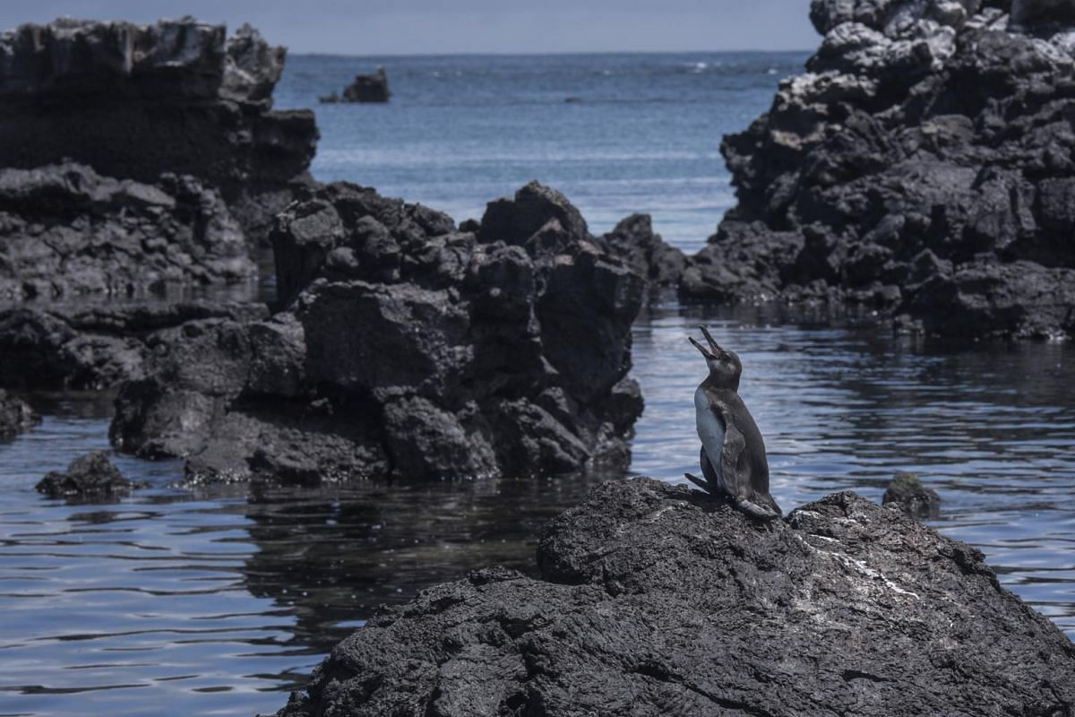 A Galapagos penguin near Los Tuneles (or The Tunnels) on the outskirts of Isabela in the Galapagos Islands.