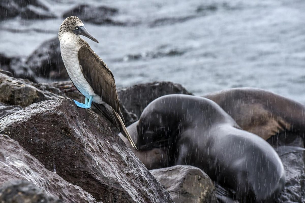 A blue-footed booby and Galapagos sea lions by the pier on San Cristobal in the Galapagos Islands during an afternoon downpour typical of the weather during this season (April 2019).
