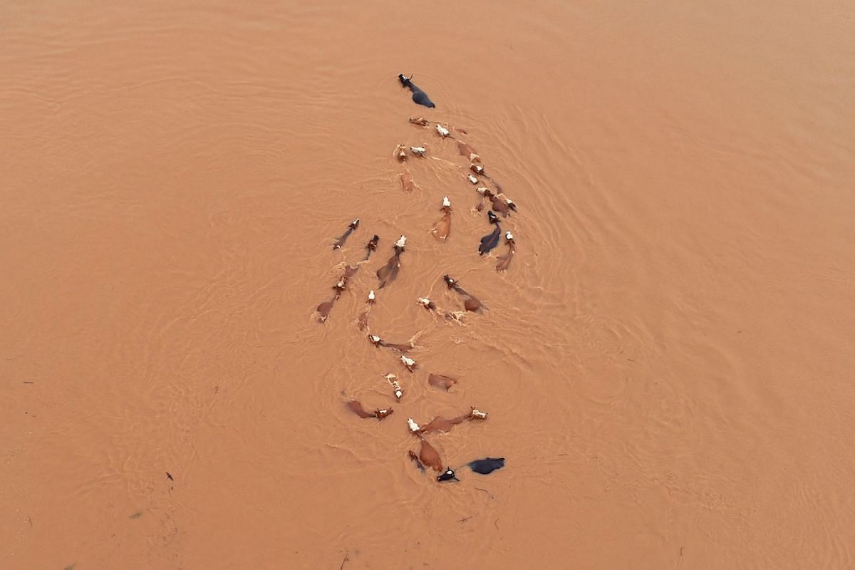 A herd of cattle is seen stranded by floodwaters following heavy rainfall in Jian, Jiangxi province, China June 12, 2019. PHOTO: REUTERS