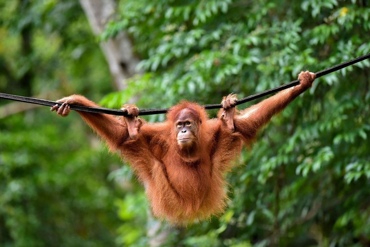 This picture taken on June 18, 2019 shows a young Sumatran orangutan named Elaine swinging on a line at the forest reserve in Jantho, Indonesia. PHOTO: AFP