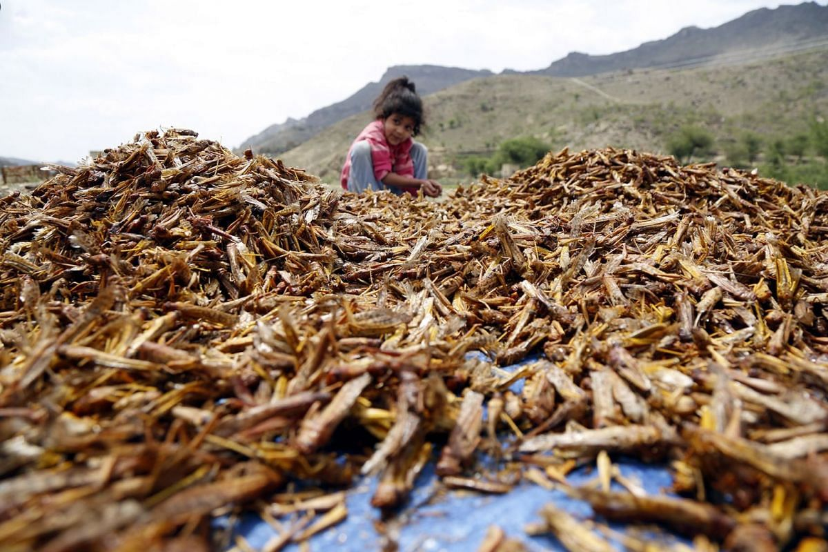 A child sits near a large amount of roasted locusts after catching them at an agricultural area in the central province of Dhamar, Yemen, 24 June 2019. PHOTO:  EPA-EFE