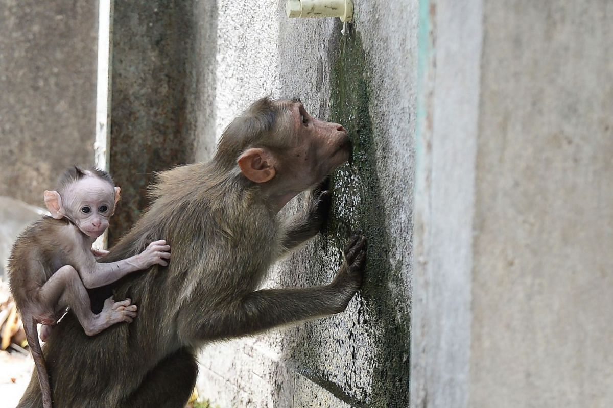 A monkey lapping up a trickle of water from a tap in Guindy Children's Park in Chennai on June 10.