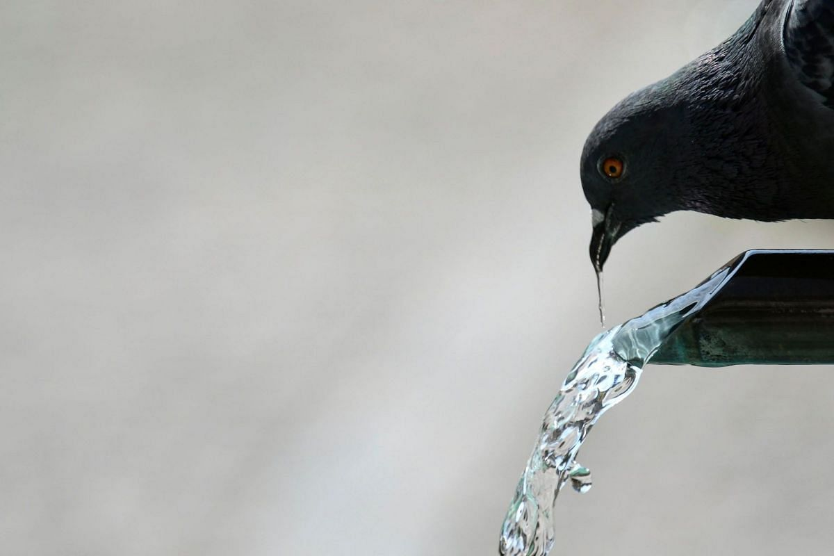 A pigeon drinks water from a fountain in Mulhouse, eastern France on June 25, 2019.