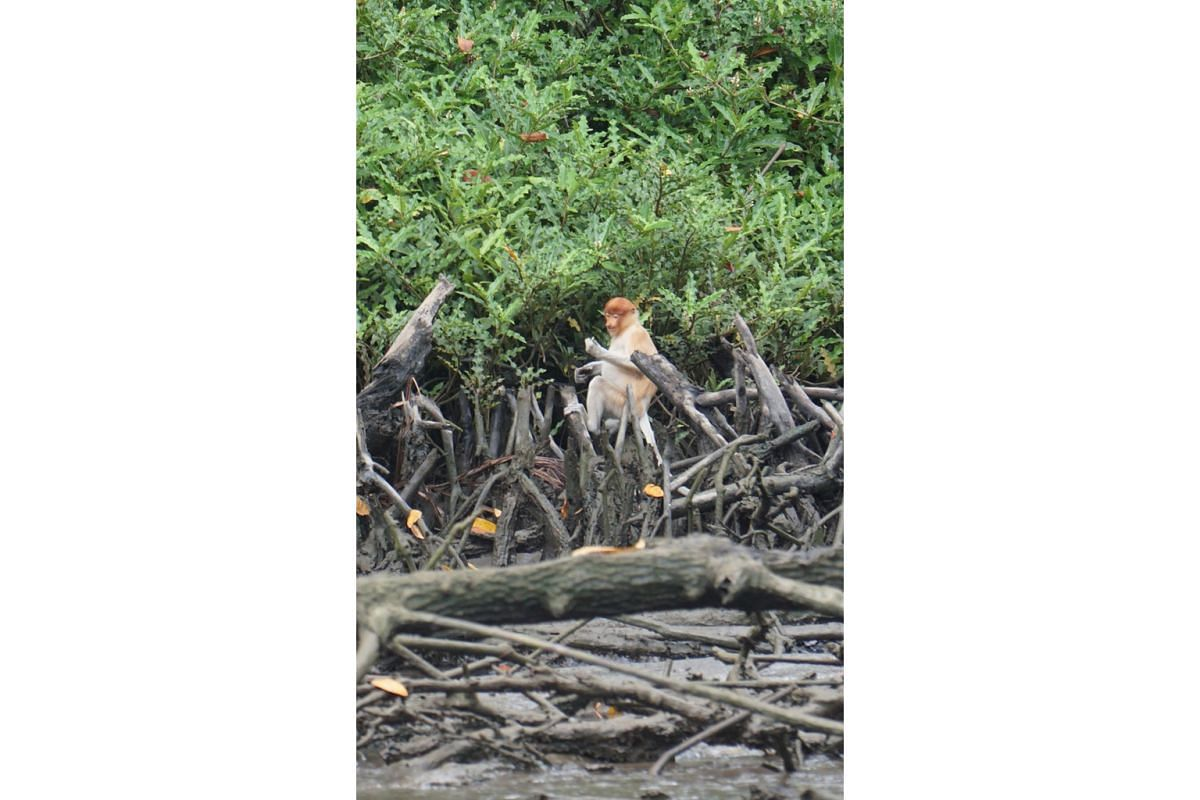 Mangroves surrounding Bandar Seri Begawan are home to the endangered proboscis monkeys.
