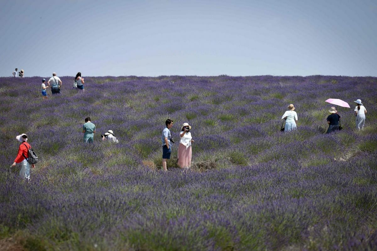 Tourists take pictures as they walk across a lavender field in Valensole, south-eastern France, on June 29, 2019.