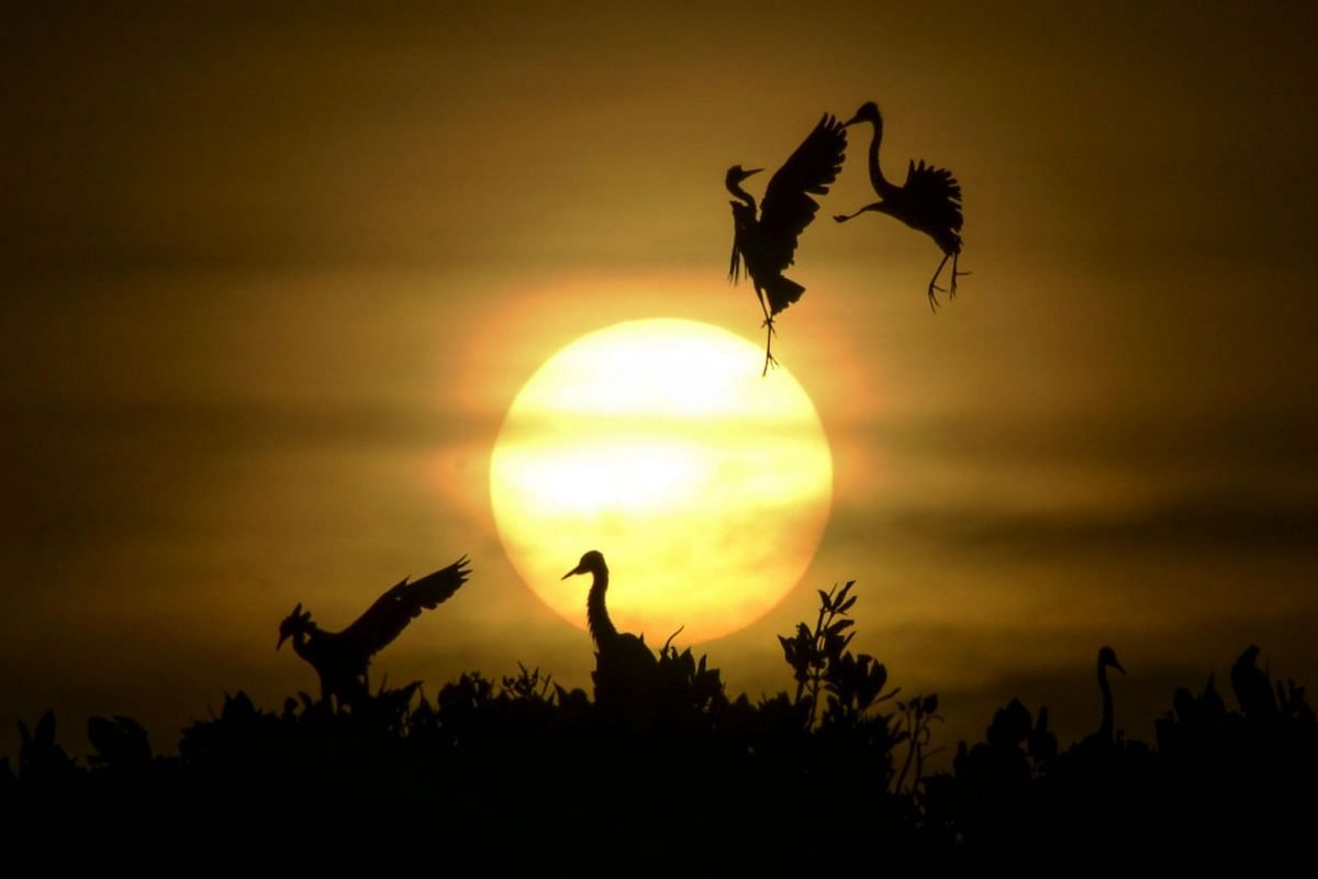 Egret birds take a flight as others rest on the top of mangrove trees during sunset at Kajhu beach, in Aceh province, Indonesia, on July 1, 2019.