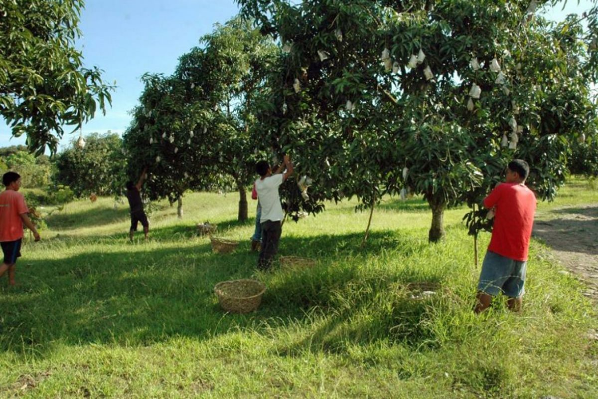 A mango farm in Ilocos Norte, six hours north of Manila, one of the provinces hit by the mango glut.