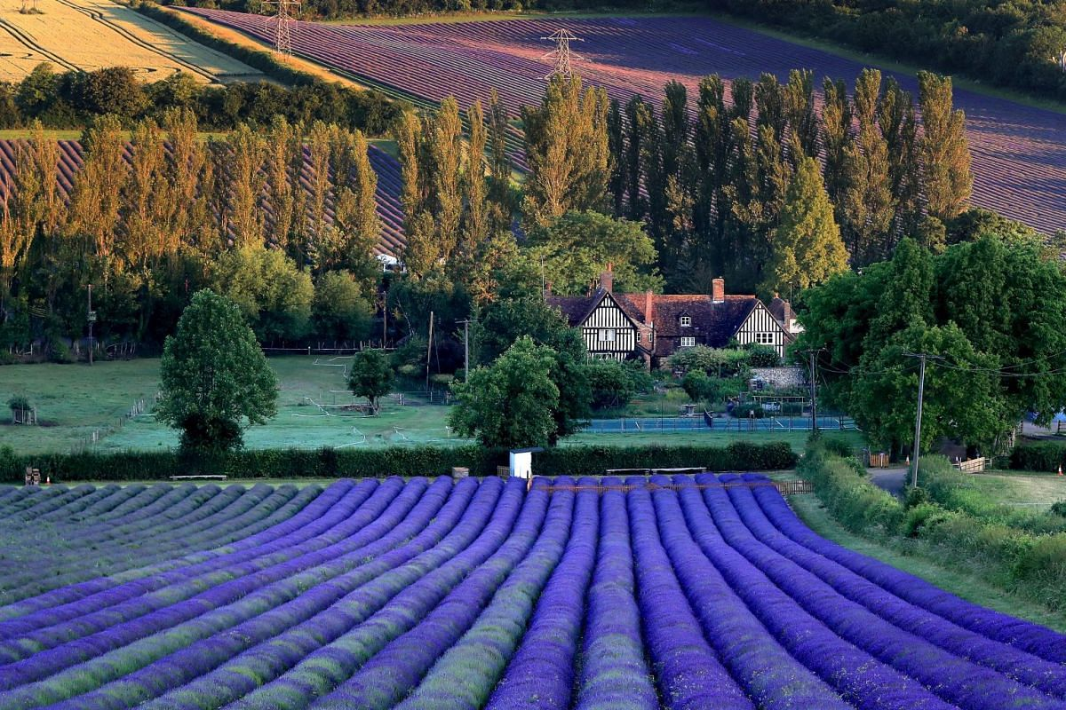 A general view of lavender fields at Castle Farm near Sevenoaks in Kent, England, on July 2, 2019.