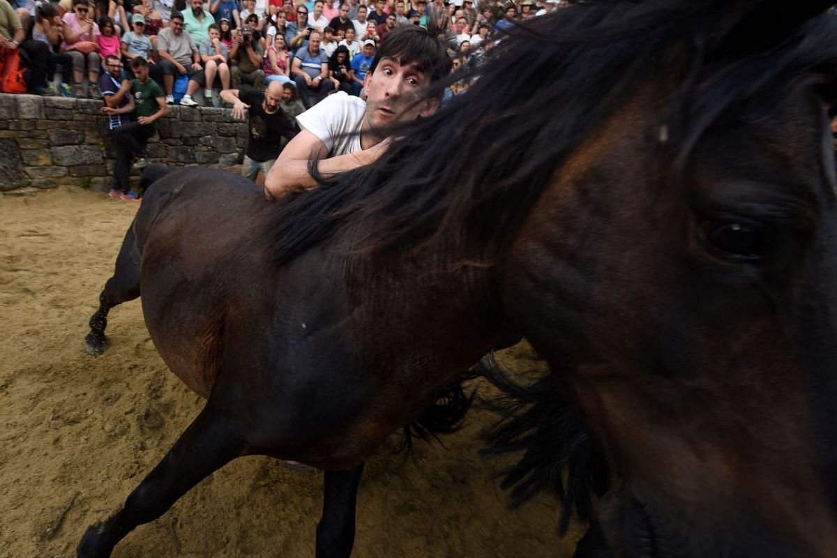 An aloitador struggles with a wild horse in the curro during the Rapa Das Bestas traditional event in the Spanish northwestern village of Sabucedo, some 40km from Santiago de Compostela, northwestern Spain, on July 6, 2019.