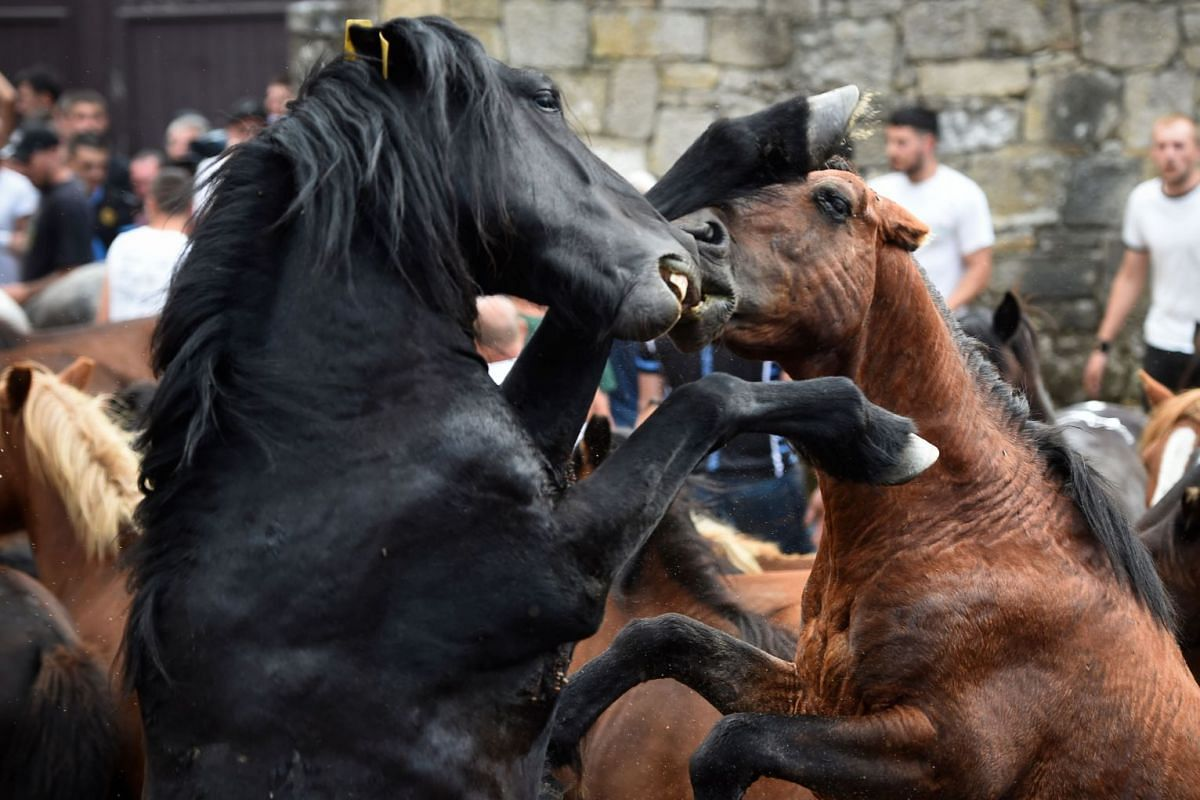 Wild horses fight during the 400-year-old Rapa das Bestas traditional event in the village of Sabucedo, some 40km from Santiago de Compostela, northwestern Spain, on July 6, 2019.