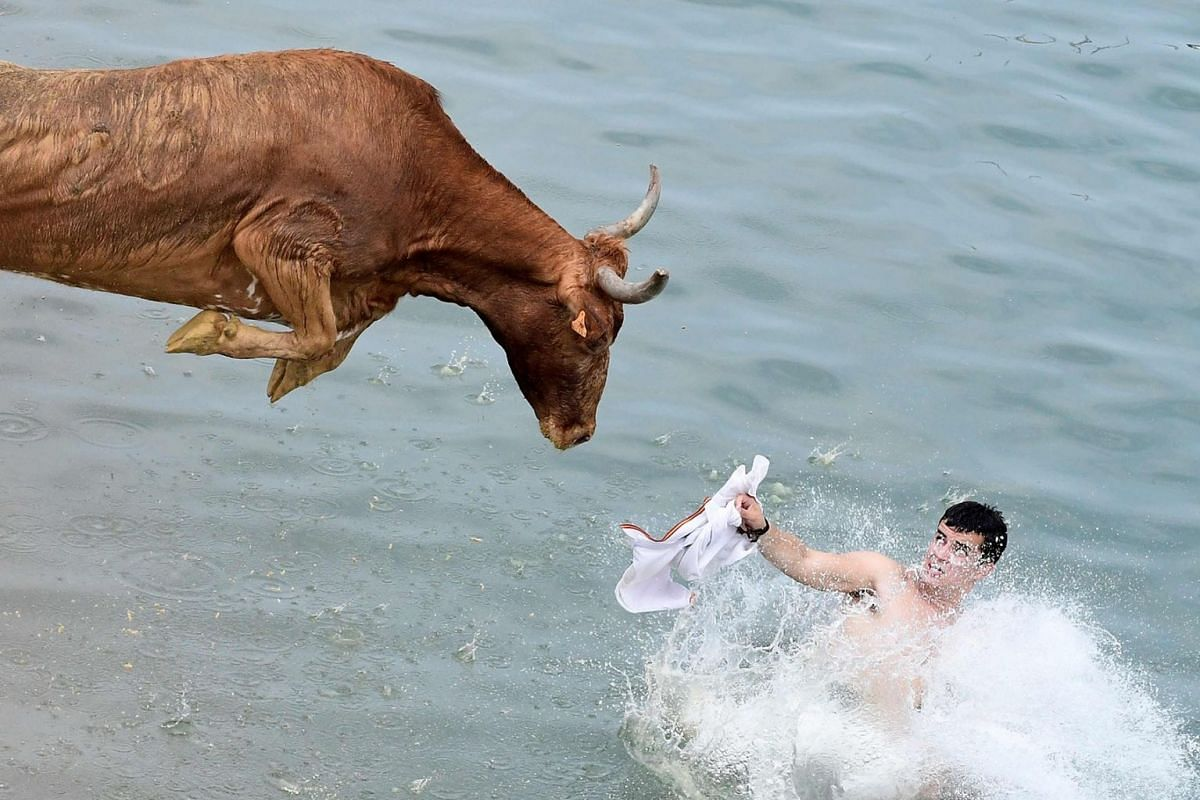 """A bull jumps in the water during the traditional running of bulls """"Bous a la mar"""" (Bull in the sea) at Denia's harbour near Alicante, Spain on July 8, 2019. PHOTO: AFP"""
