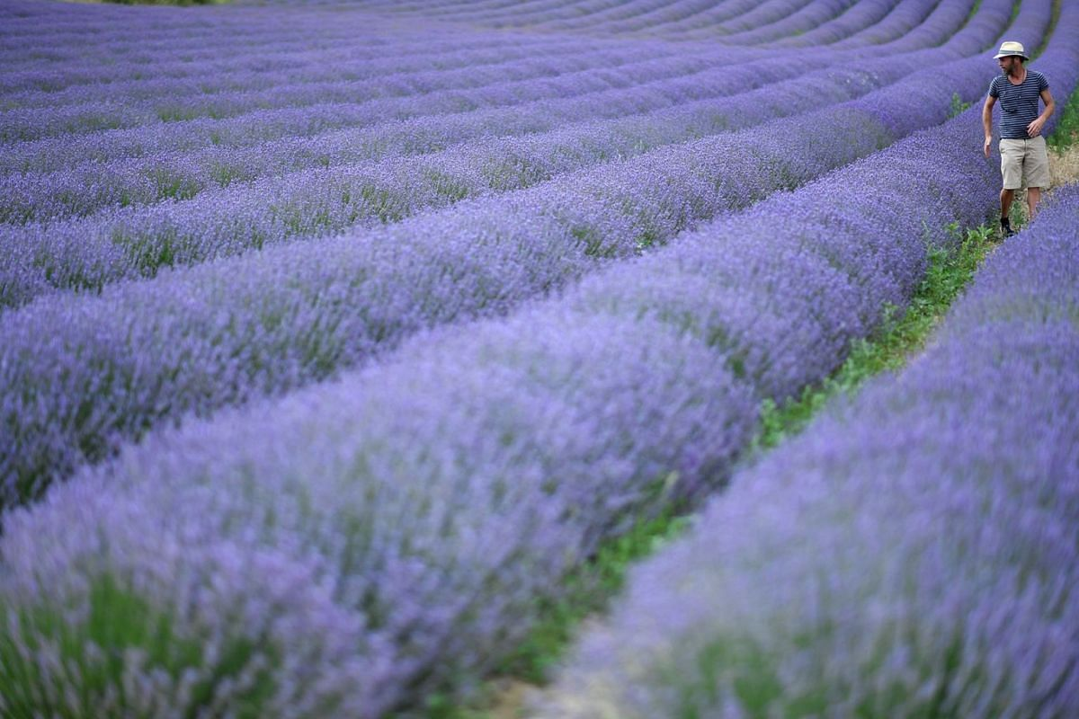 A man walks in a field of lavander in Sault, southern France, on July 8, 2019. PHOTO: AFP