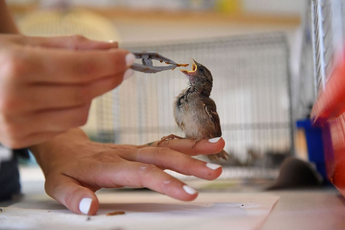 """A volunteer of the """"Goupil"""" association feeds a young bird with tweezers at the Wildlife Hospital in Laroque, southern France, on July 8, 2019. PHOTO: AFP"""
