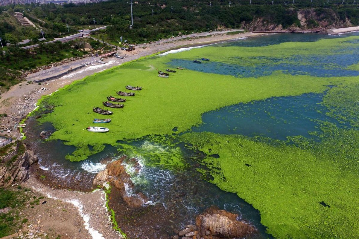 The algae bloom is believed to be caused by a combination of warming sea temperatures and edible seaweed farming off the Shandong coast.
