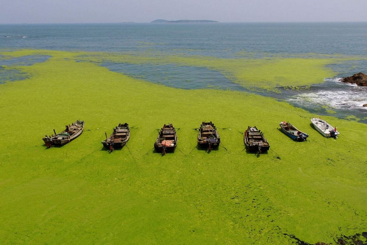 Boats surrounded by algae in a bay in Qingdao, on July 11, 2019.