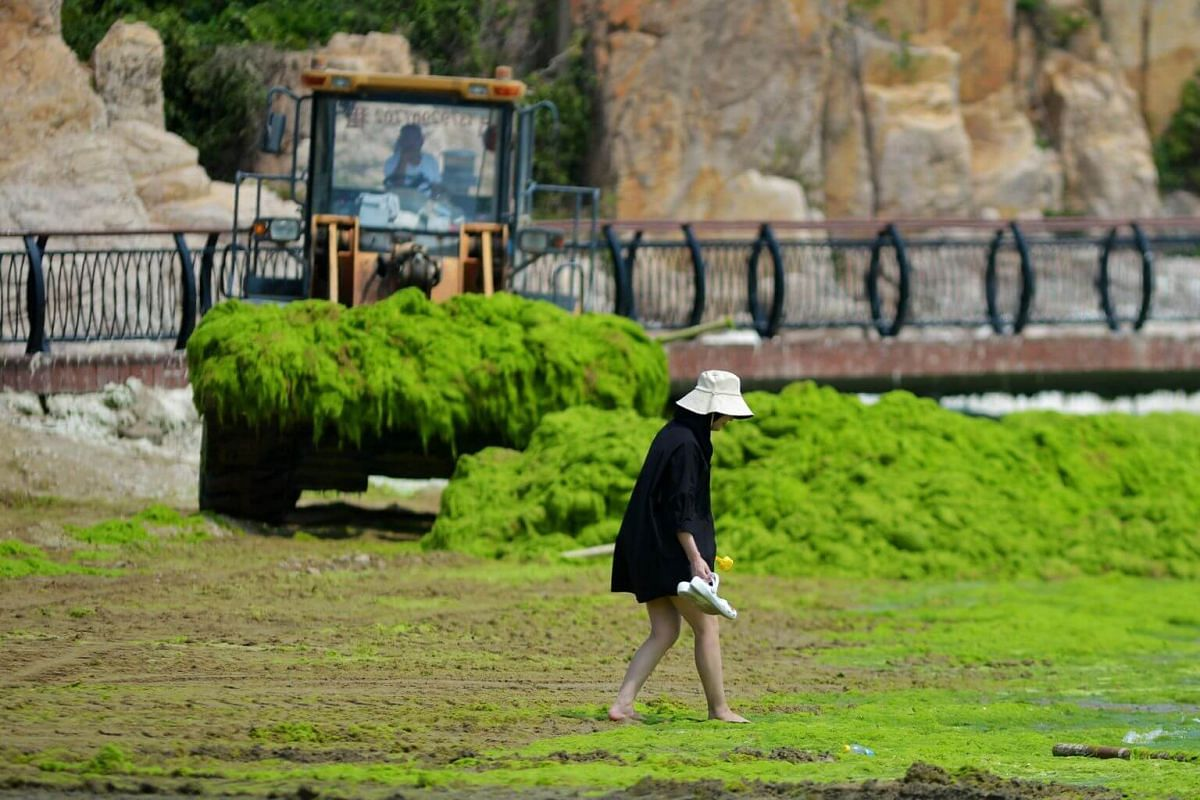 A tractor shoveling up algae from a beach in Qingdao, on July 11, 2019.