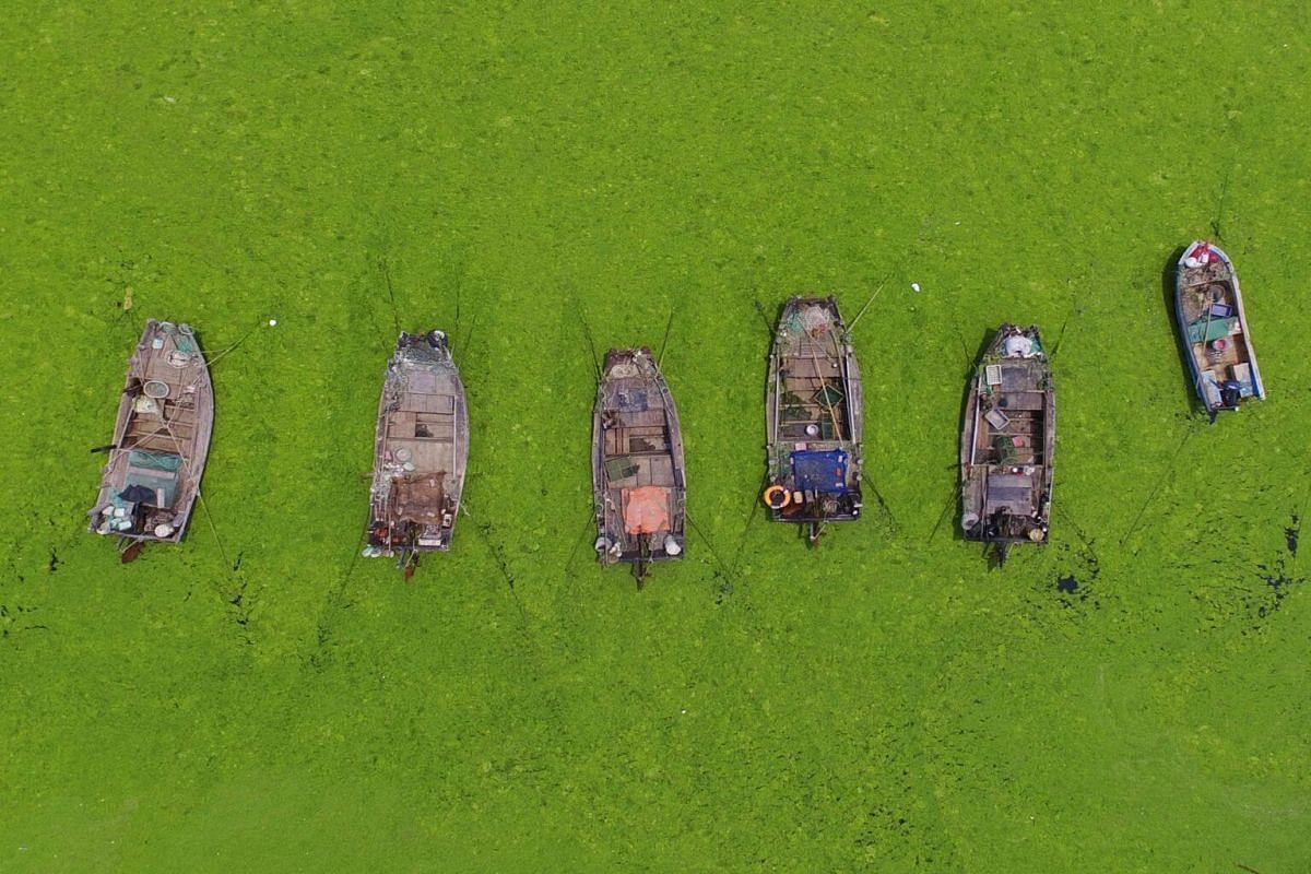 Algae surrounding boats in a bay in Qingdao, Shandong.
