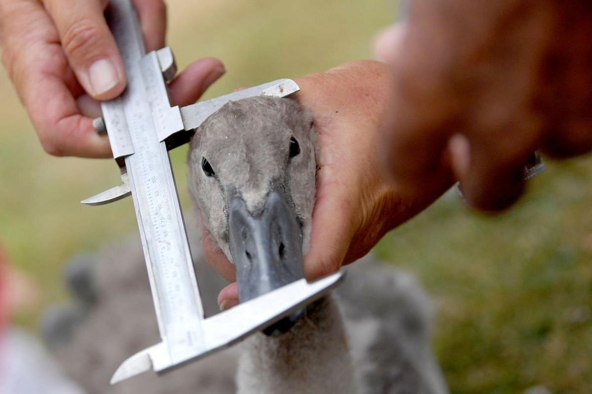 An official taking a cygnet's measurements.