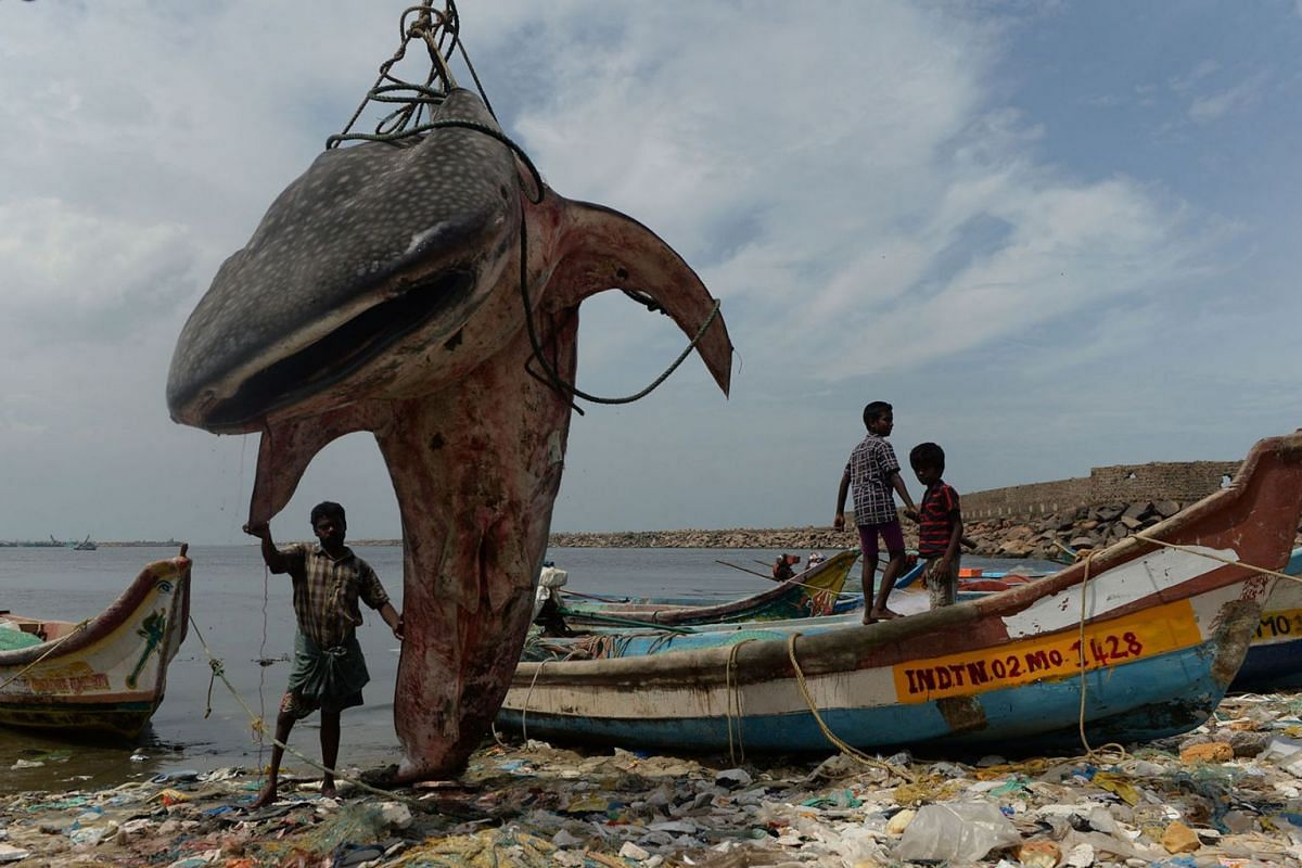 An Indian man stands with a whale shark that washed ashore and was lifted by a crane for inspection by officials at Kasimedu fishing harbour in Chennai on July 27, 2019.