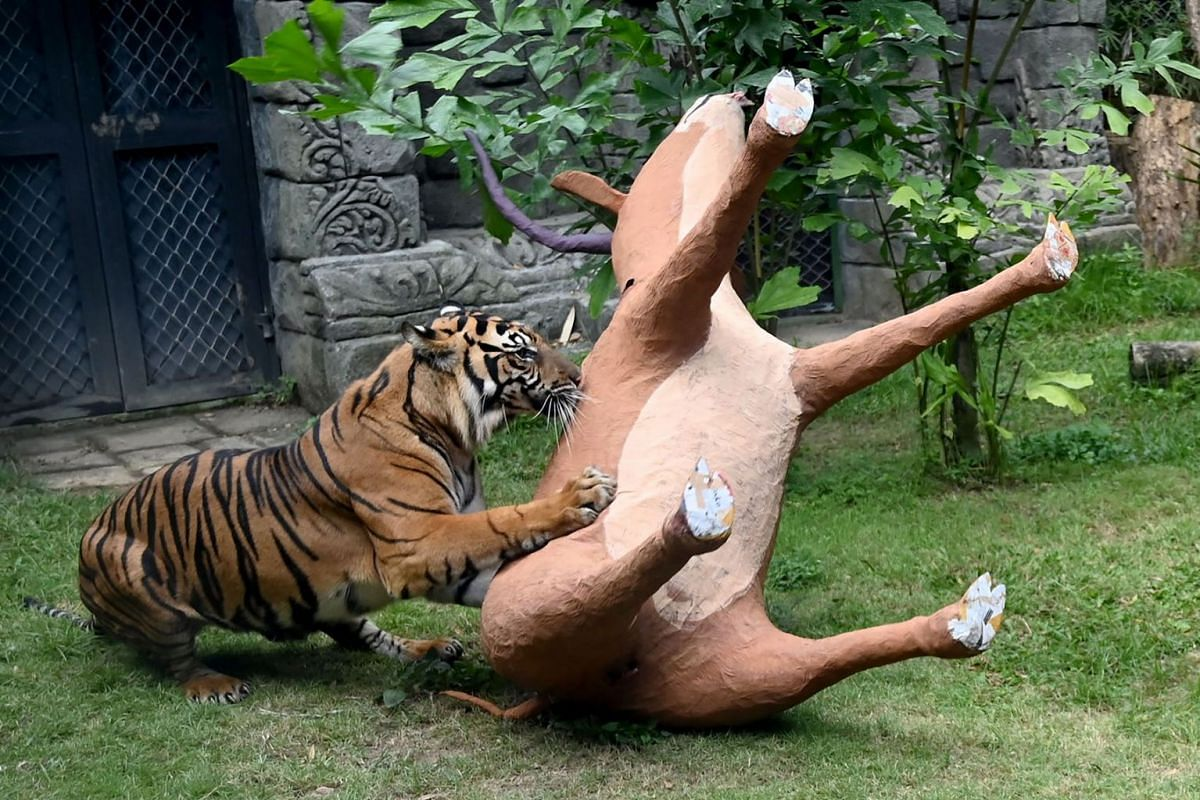 A Sumatran tiger climbs over a model of an antelope which was covered with meat by zookeepers inside its enclosure to mark International Tiger Day at Bali Zoo in Sukawati in Gianyar Regency on Indonesia's resort island of Bali on July 29, 2019. PHOTO
