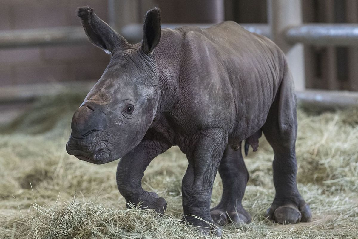 In this image courtesy of the San Diego Zoo, a day-old southern white rhino calf stands on its wobbly legs on July 29, 2019, at the Nikita Kahn Rhino Rescue Center at the San Diego Zoo Safari Park, in Escondido, California. PHOTO: HANDOUT VIA AFP
