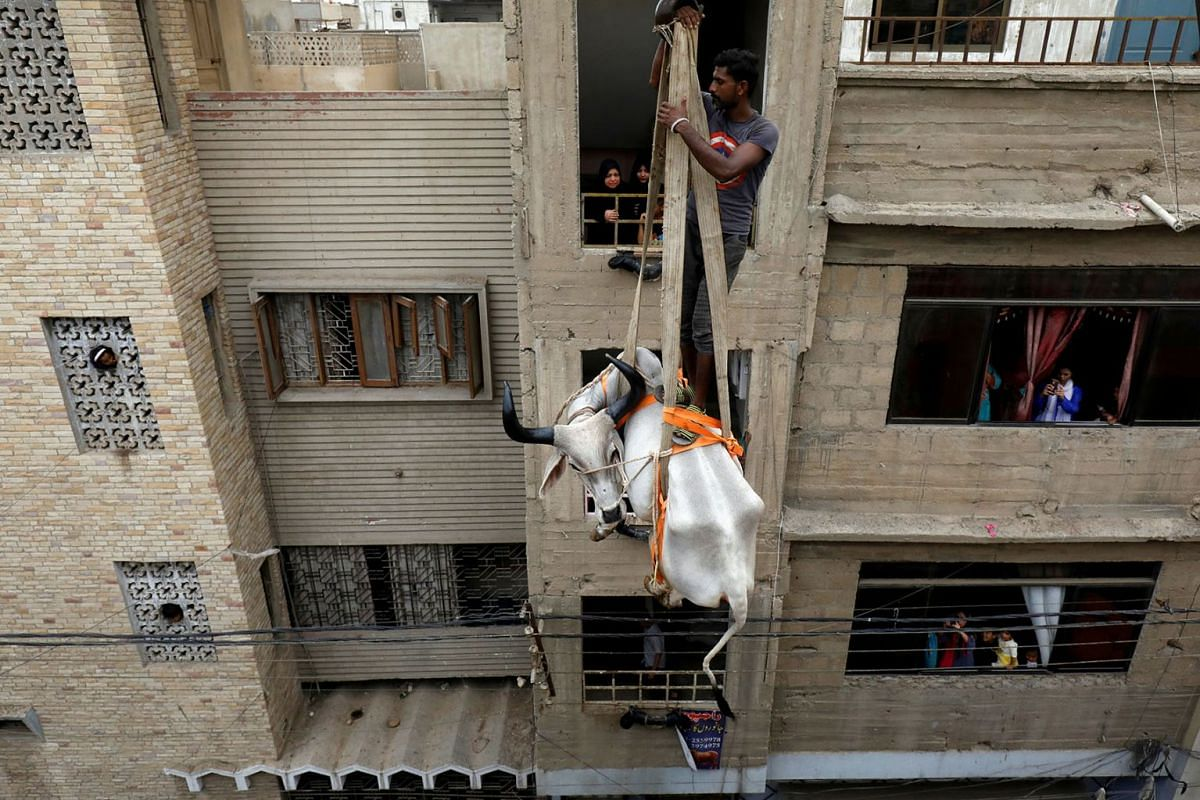A sacrificial cow is lowered from a rooftop by crane, ahead of the Eid al-Adha festival in Karachi, Pakistan, August 4, 2019. PHOTO: REUTERS