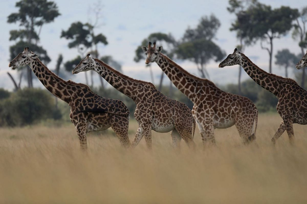 Giraffes are seen in Masai Mara National Reserve, Kenya, Aug 3, 2019. PHOTO: REUTERS