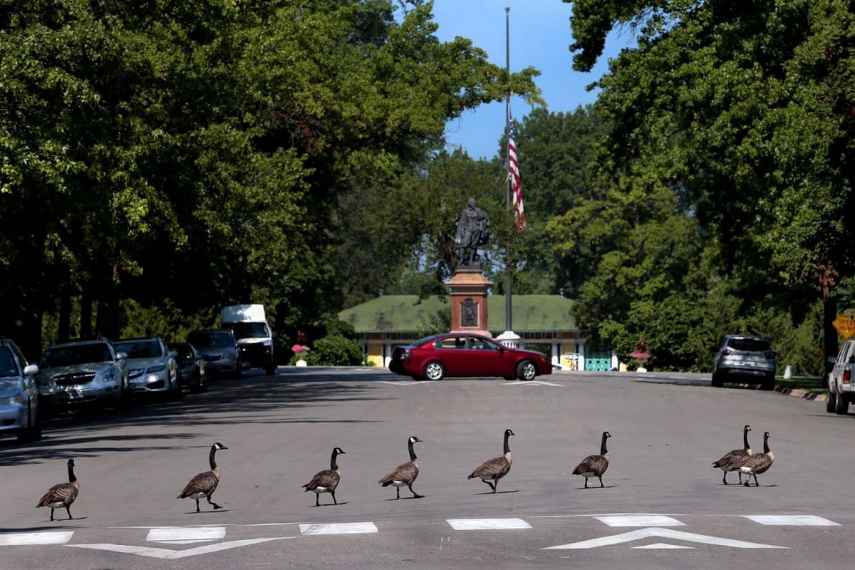 Canada geese cross Main Drive at the crosswalk, headed for the pond at Tower Grove Park in St. Louis, Missouri, Aug. 5, 2019. PHOTO: ST. LOUIS POST-DISPATCH VIA AP