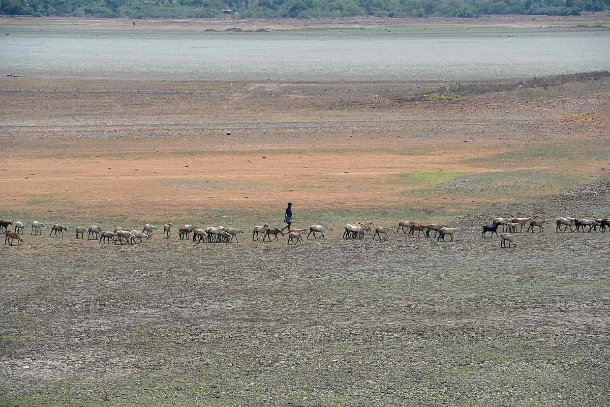A fisherman at Angat Dam, which was exhausted after an abnormally long dry season. It provides running water to Metro Manila, where water demand outstrips supply. A shepherd guarding his livestock at the dried-out Puzhal reservoir on the outskirts of