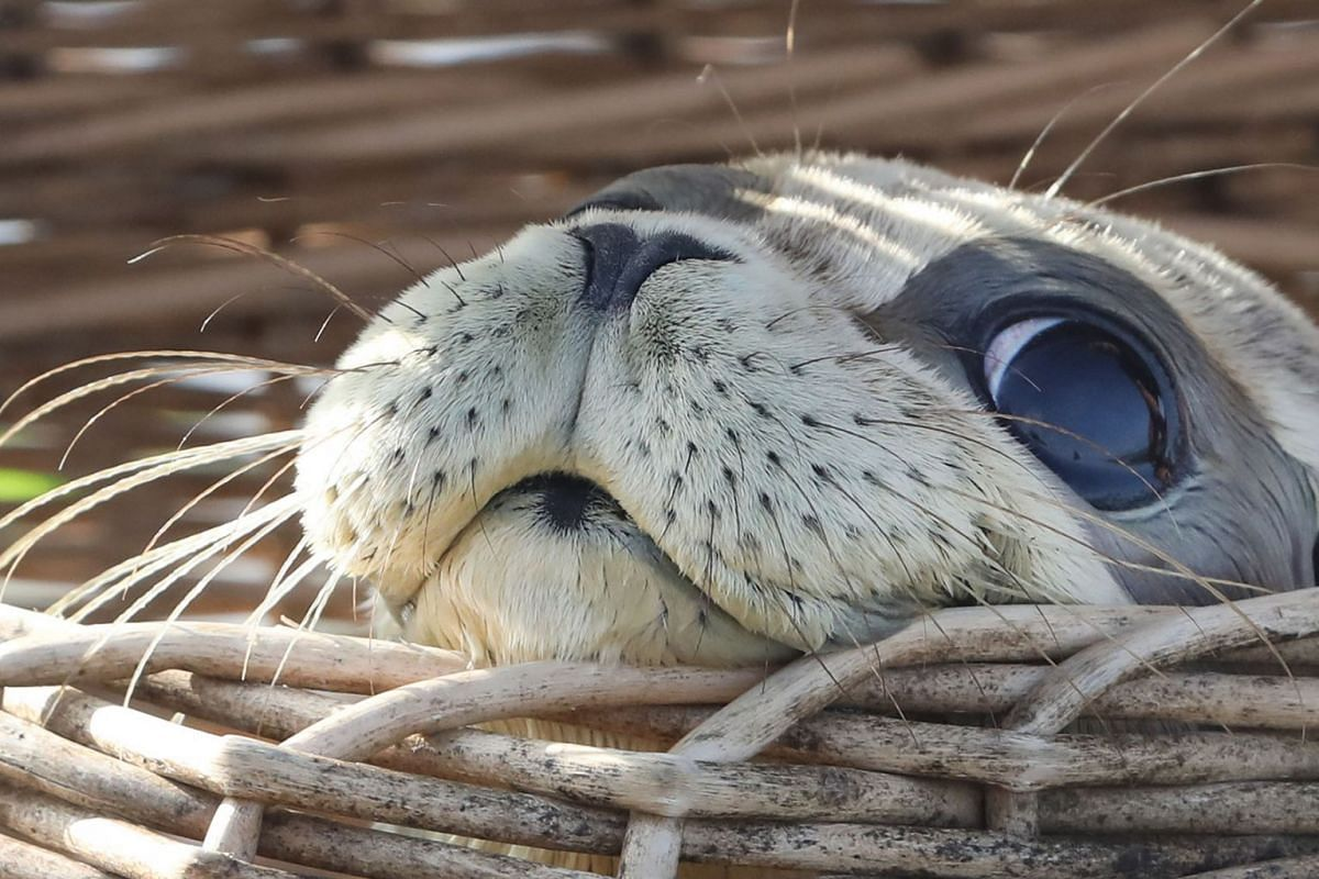 Seal pup Freya peeks out of its basket before being released into the North Sea on the beach of Juist island, northern Germany, August 6, 2019. PHOTO: EPA-EFE