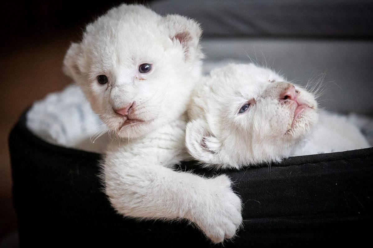 A picture taken on Aug 11, 2019, shows two white lion cubs laying in their basket at the Caresse de tigre association, at La Mailleraye-sur-Seine, north-western of France.