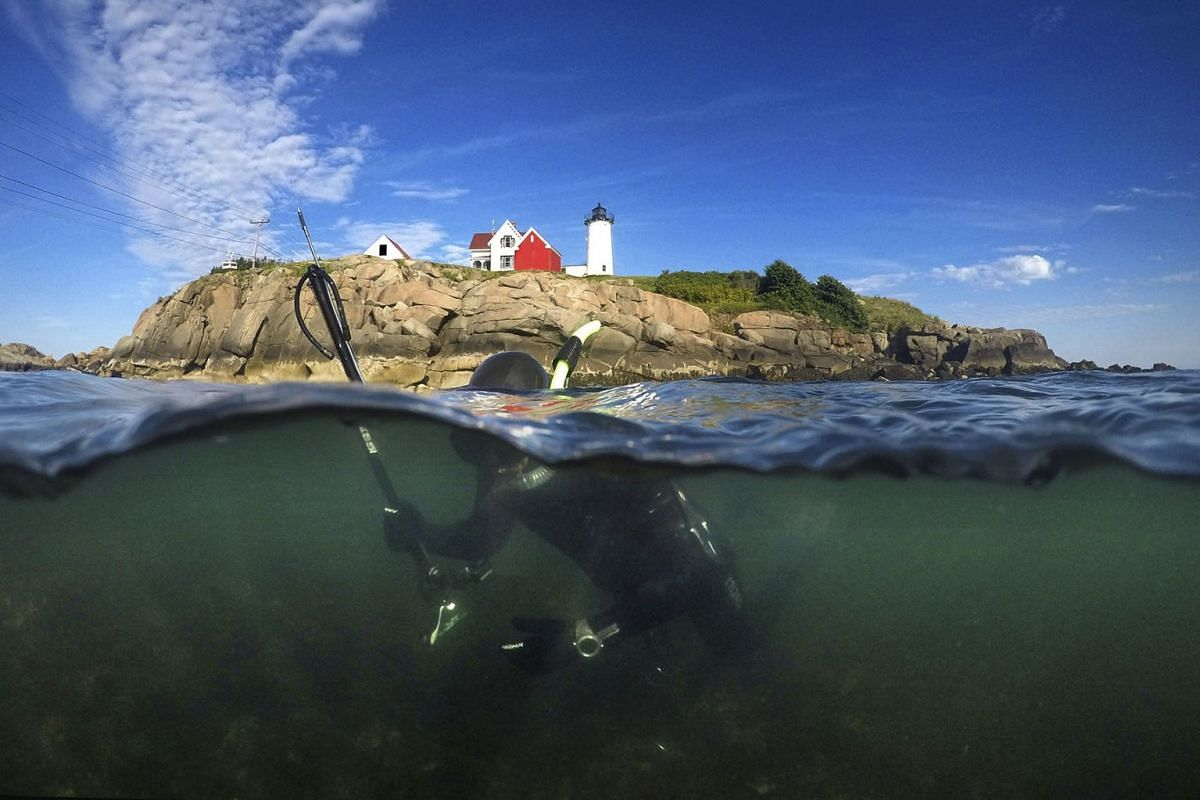Spear fisherman Aristotle Captain, of Portsmouth, N.H., hunts for tautog while snorkeling off of Nubble Light, Wednesday, Aug. 14, 2019, in York, Maine. Tautog is a species of wrasse fish that lives on the rocky bottom. PHOTO: AP