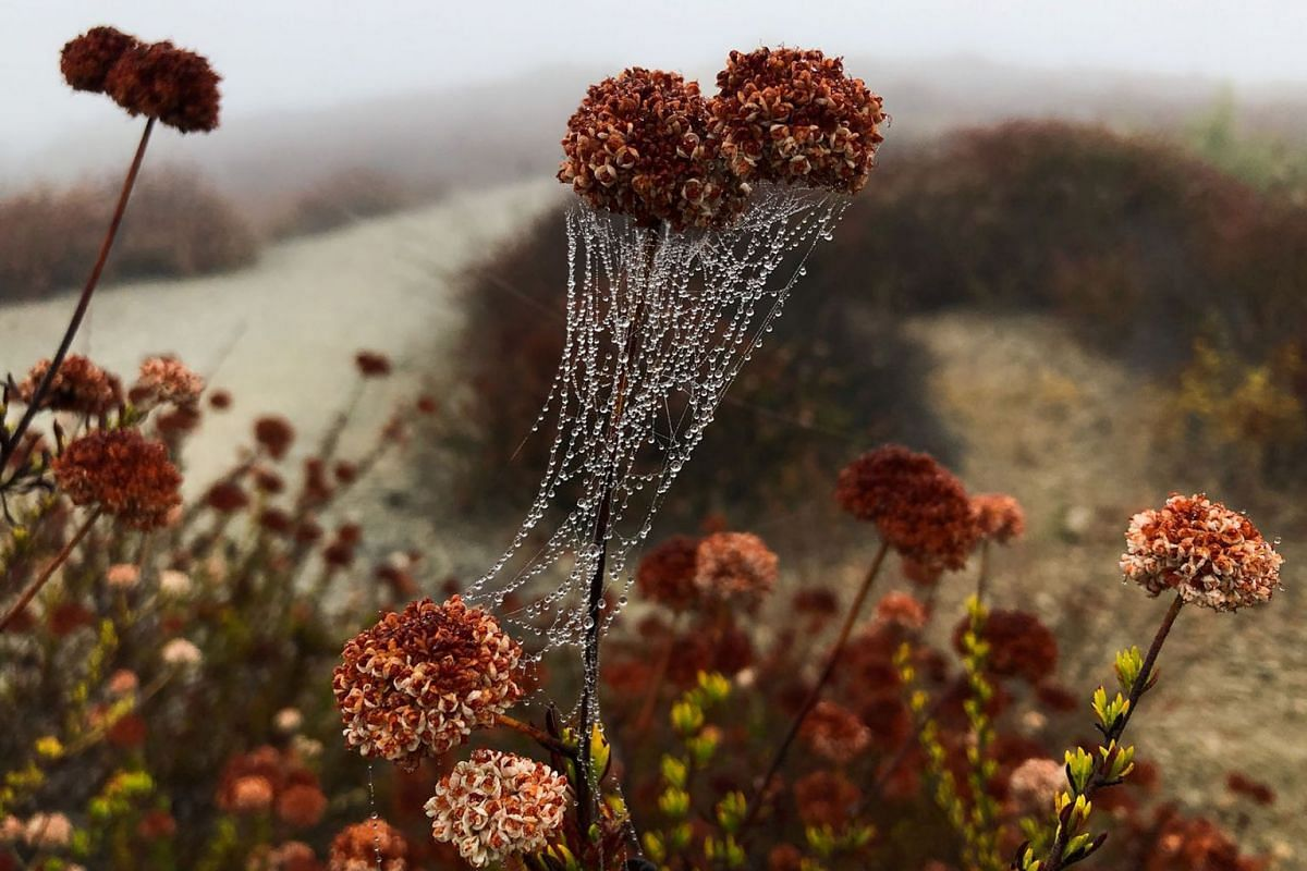 Drops of dew sit on a spider web in the early morning mist in Los Angeles, California, U.S., August 19, 2019. PHOTO: REUTERS