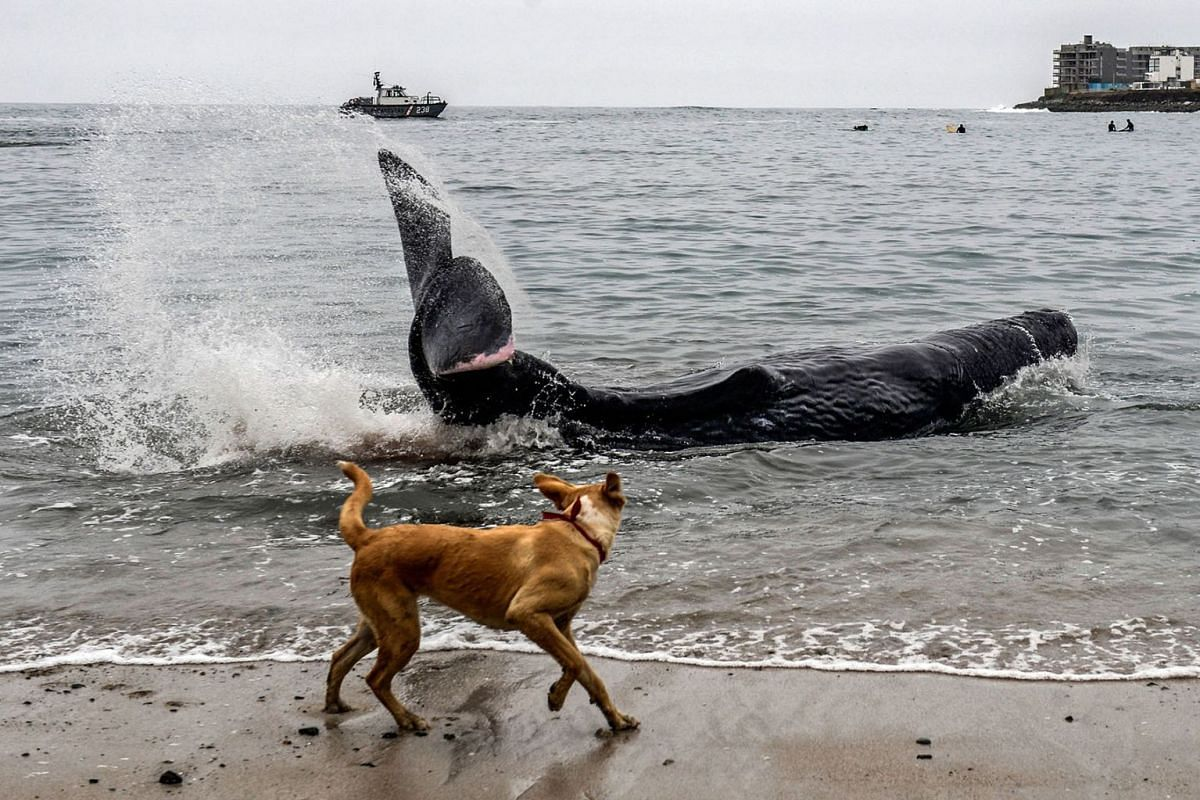 A dog looks at a five-meter-long sperm whale stranded at San Bartolo beach, in Lima, on August 20, 2019. PHOTO: AFP