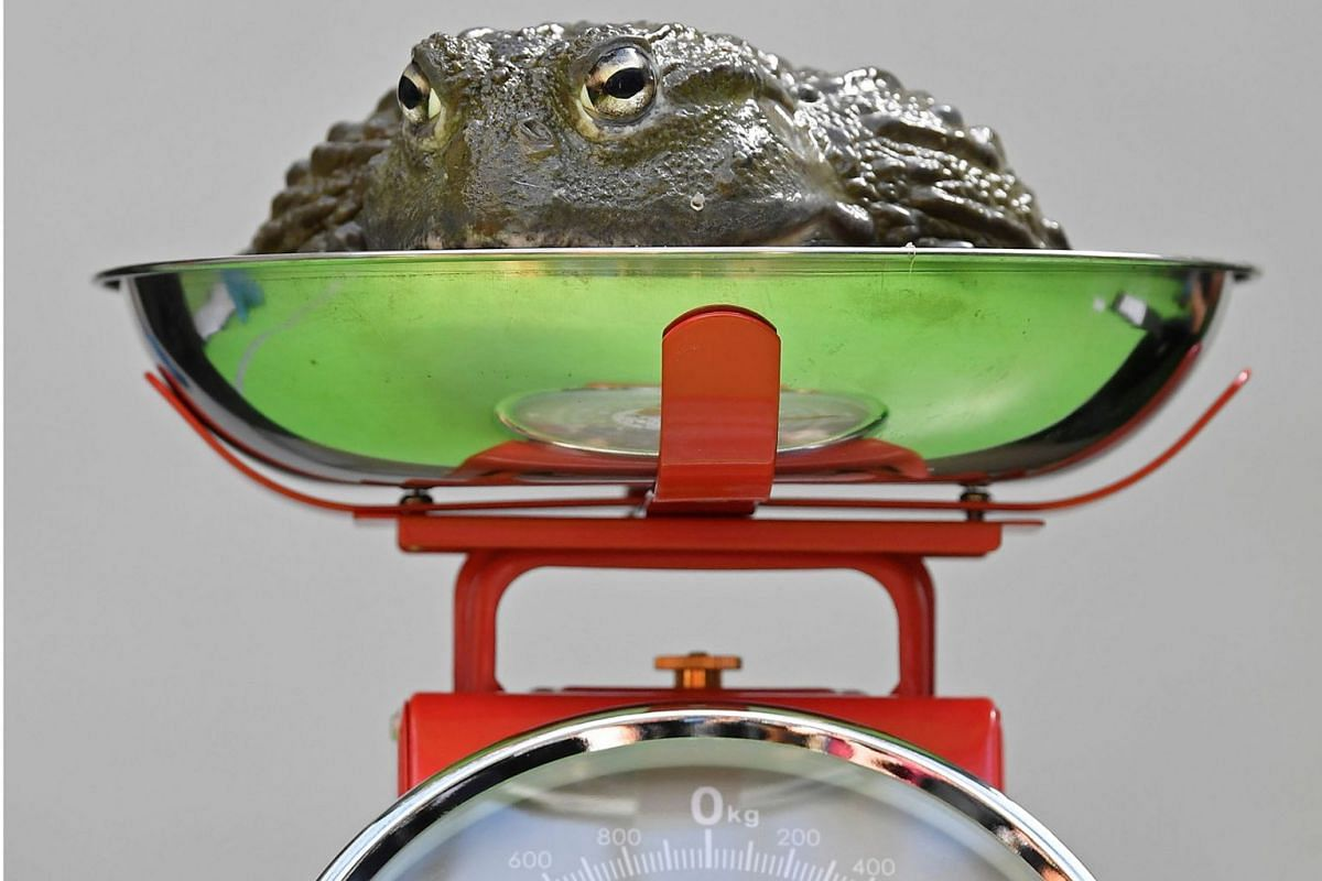 An African bullfrog sits on scales during the annual weigh-in at London Zoo, London, Britain, August 22, 2019. PHOTO: REUTERS