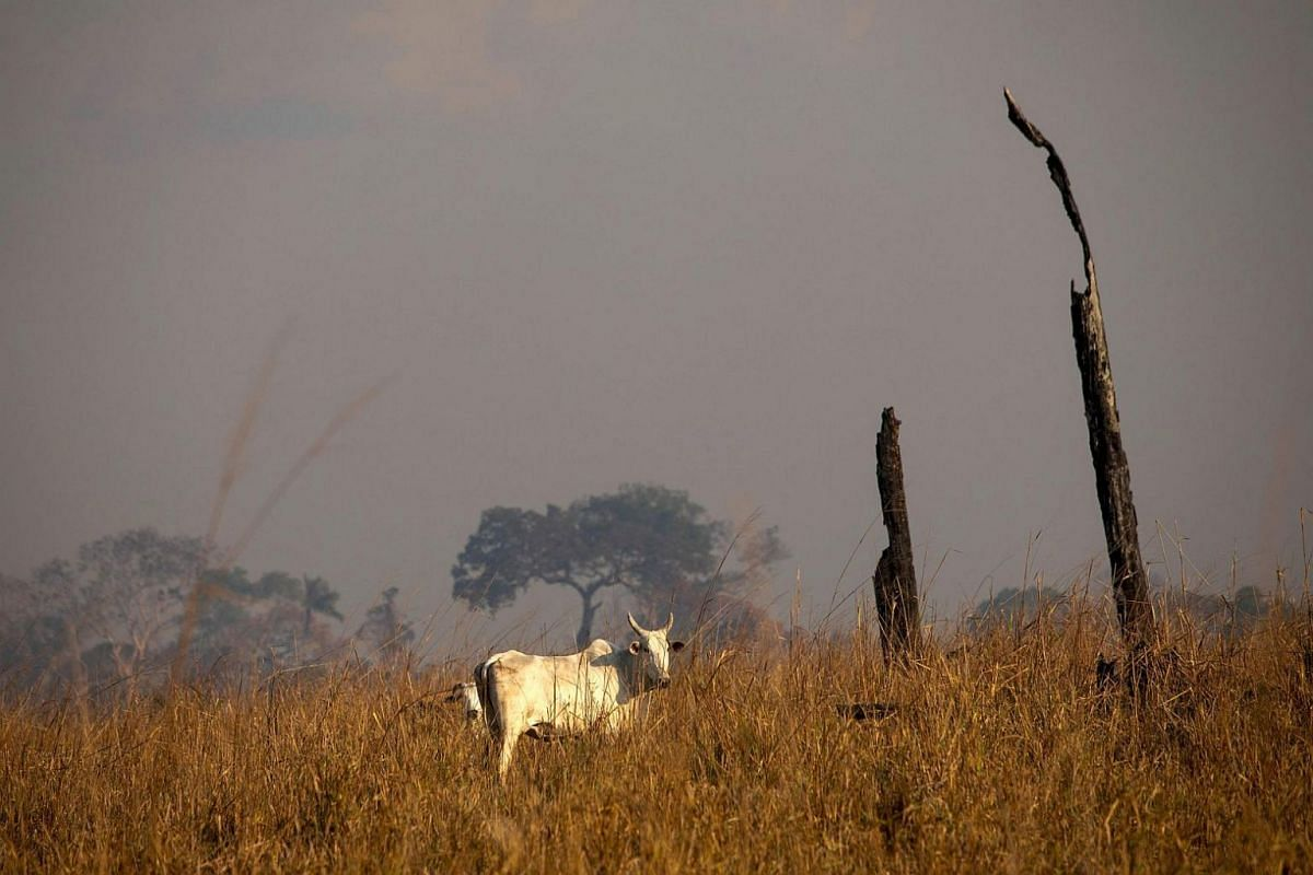 Cows remain near a burnt area after a fire in the Amazon rainforest near Novo Progresso, Para state, Brazil, on Aug 25, 2019.