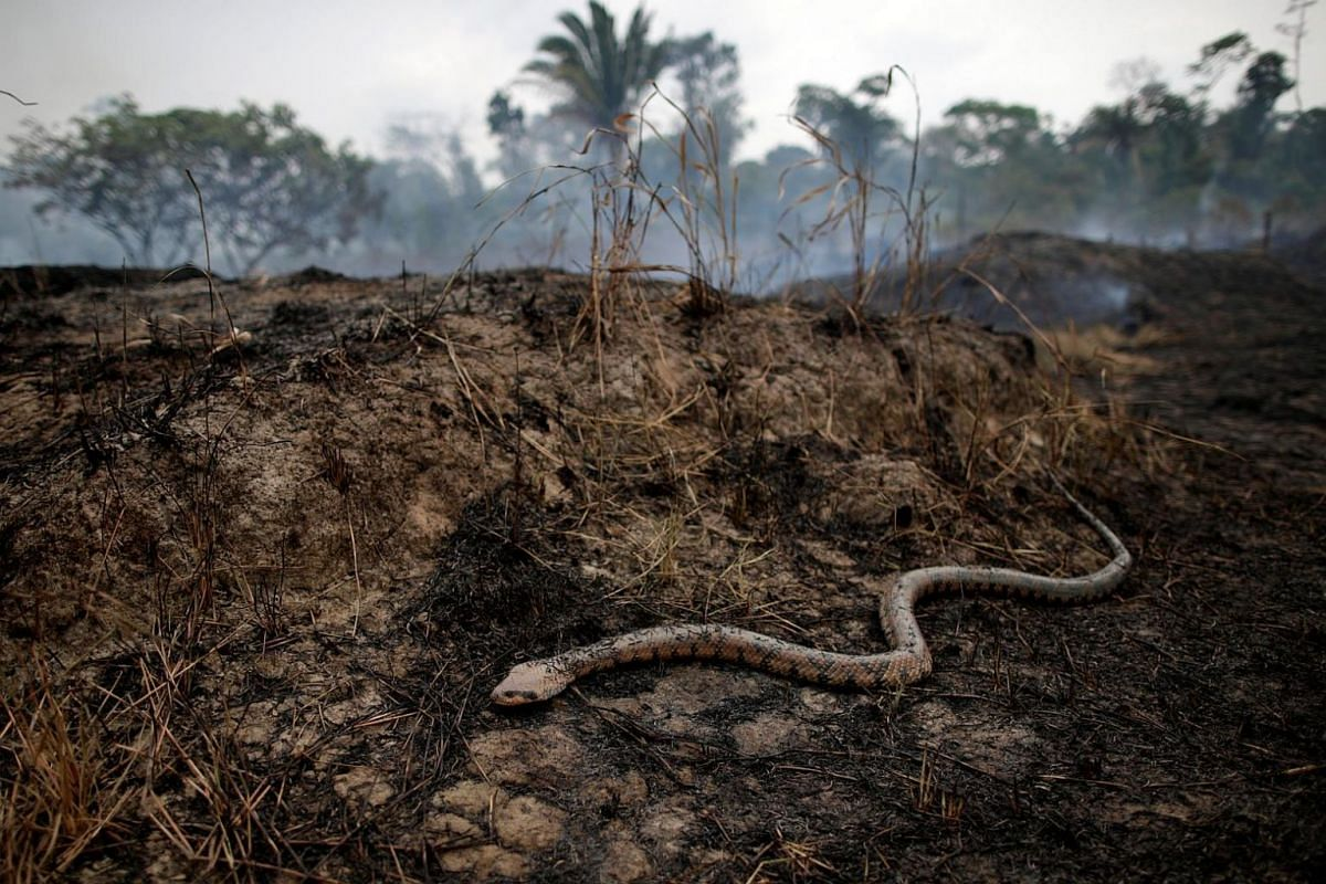 A snake slithers over a tract of the Amazon jungle that is burning as it is cleared by loggers and farmers in Porto Velho, Brazil, on Aug 24, 2019.