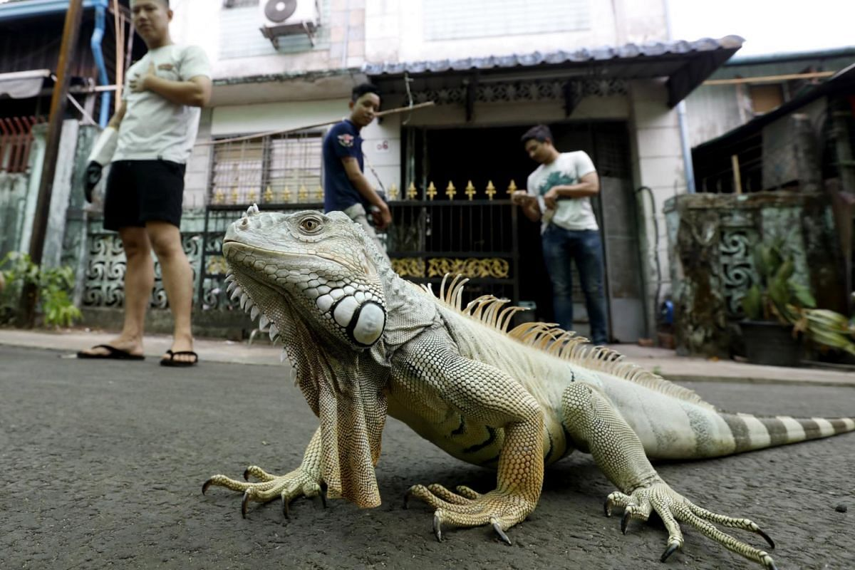 Aung Khant Zaw (left), an exotic pets enthusiast, watches his iguana lizard pet in front of his house in Yangon, Myanmar, on May 4, 2019.