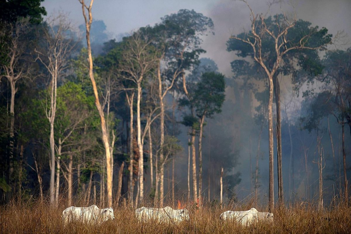 People from the Mura tribe showing a deforested area in unmarked indigenous lands inside the Amazon rainforest near Humaita, in Brazil's Amazonas state. Cattle grazing as a wildfire raged in the Amazon rainforest near Novo Progresso in Para state, Br