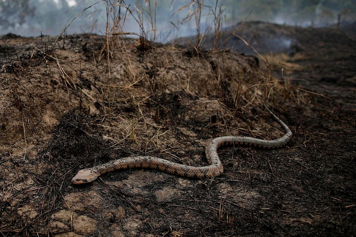 A snake emerging from the undergrowth as a tract of Amazon jungle is exposed after a fire. Deforestation is depriving many animals of their habitat. PHOTO: REUTERS