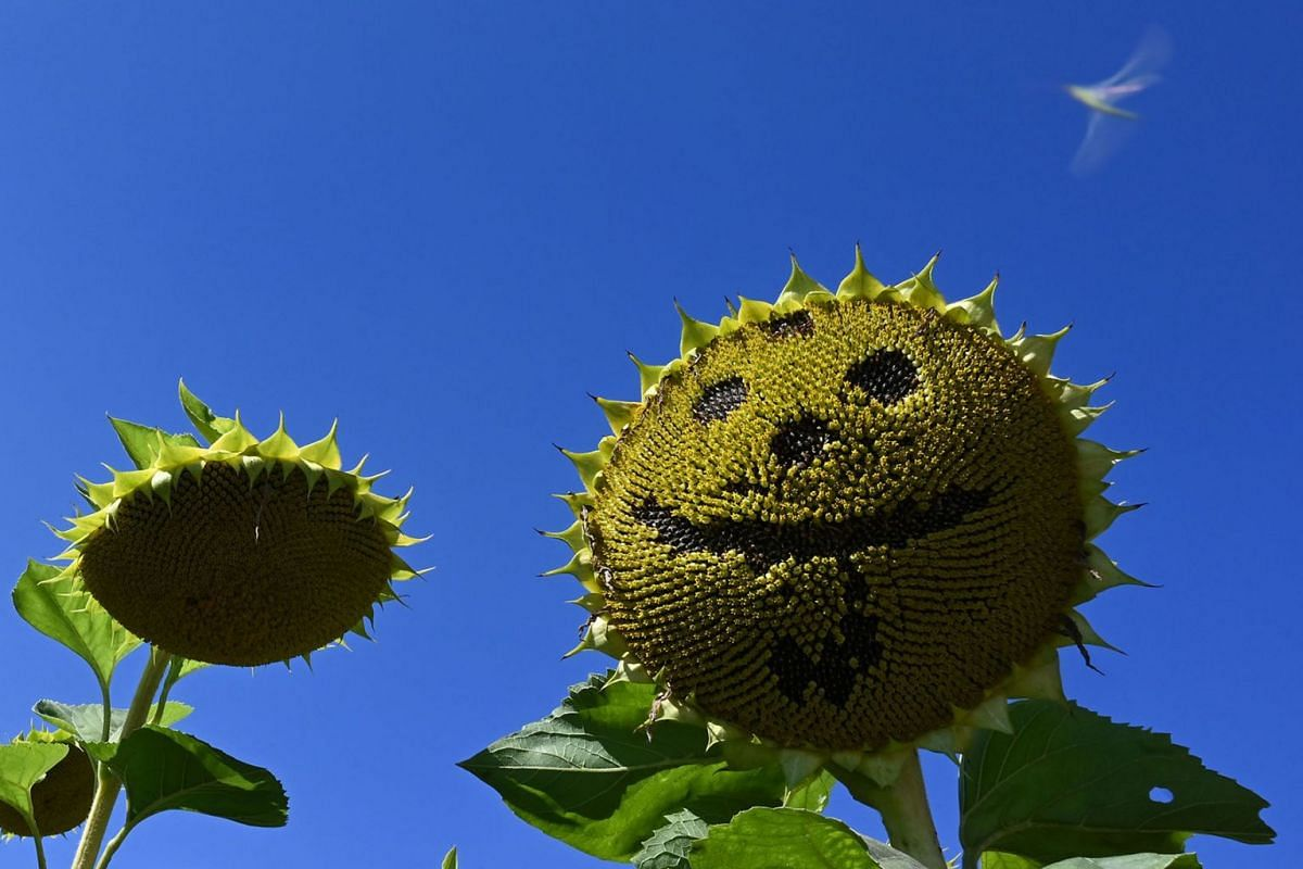 A sunflower with missing seeds depicting a smile is seen in a field near the small Bavarian village of Groebenzell, southern Germany, on a sunny September 4, 2019. PHOTO: AFP