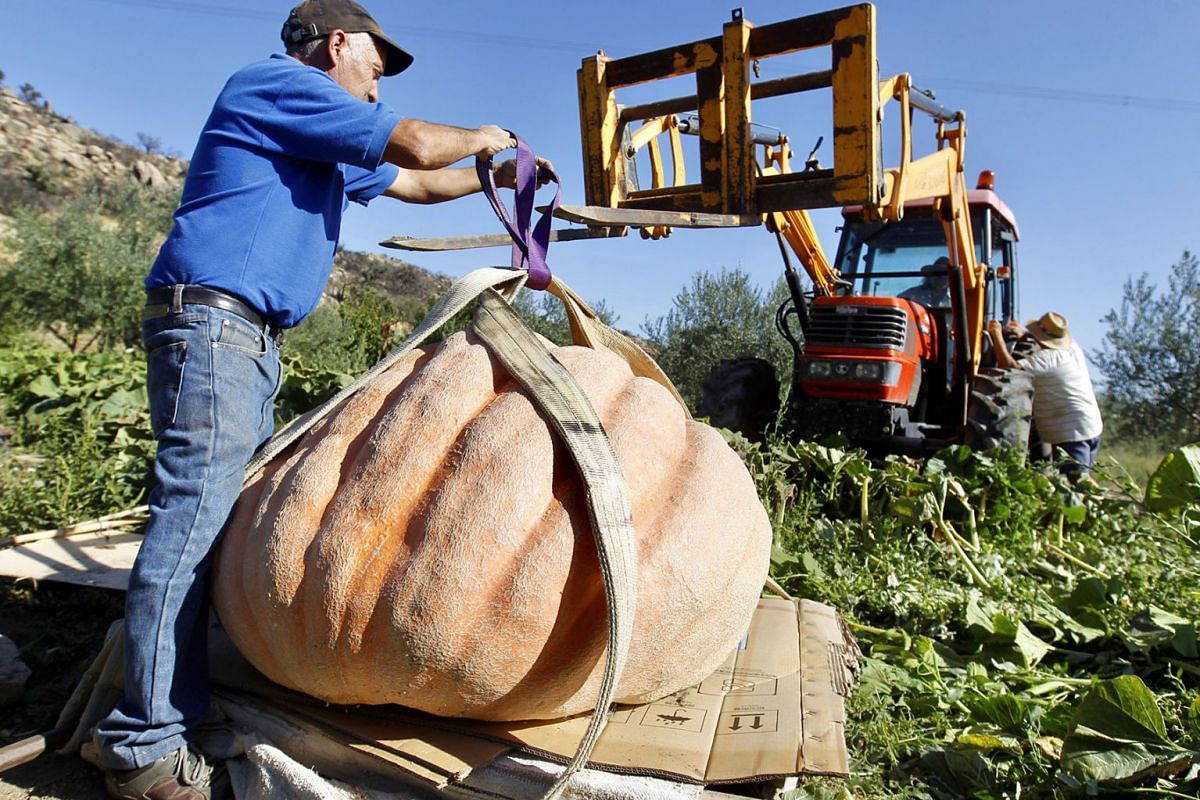 A farmer collects a giant pumpkin on his land in Arribes del Duero, Zamora, northern Spain, September 5, 2019. Some of the pumpkins weighted over 300 kilograms. PHOTO: EPA-EFE