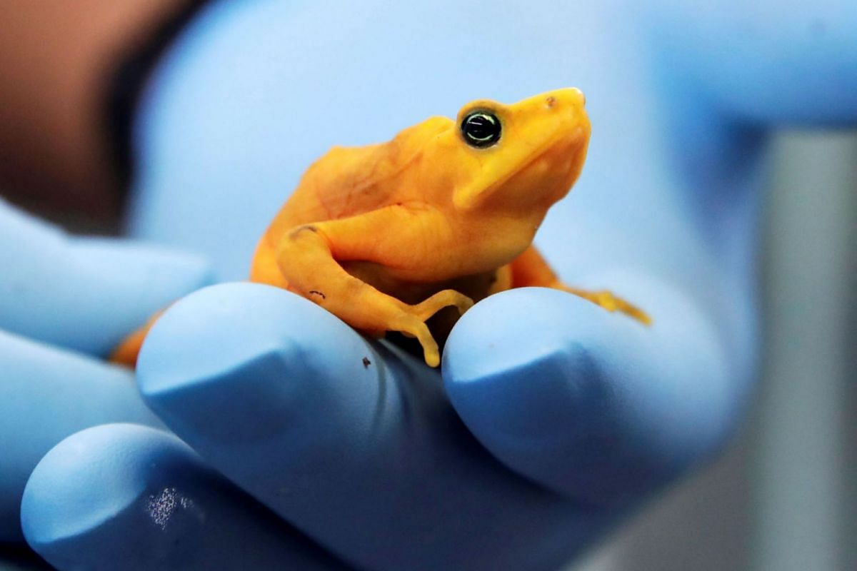 A scientist holds a golden frog at the research center of the Smithsonian Tropical Research Institute (STRI) located in Gamboa, a rainforest near Panama City, Panama, 11 September 2019. STRI scientists are freezing sperm from the golden frog in anoth