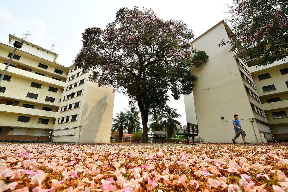 The trees in full bloom at Whampoa estate on Monday. Trumpet trees have a broadly conical shape, shady crown and trumpet-shaped blossoms that give the tree its name. Trumpet trees at Dakota Crescent yesterday. The blooms last only a matter of days, b