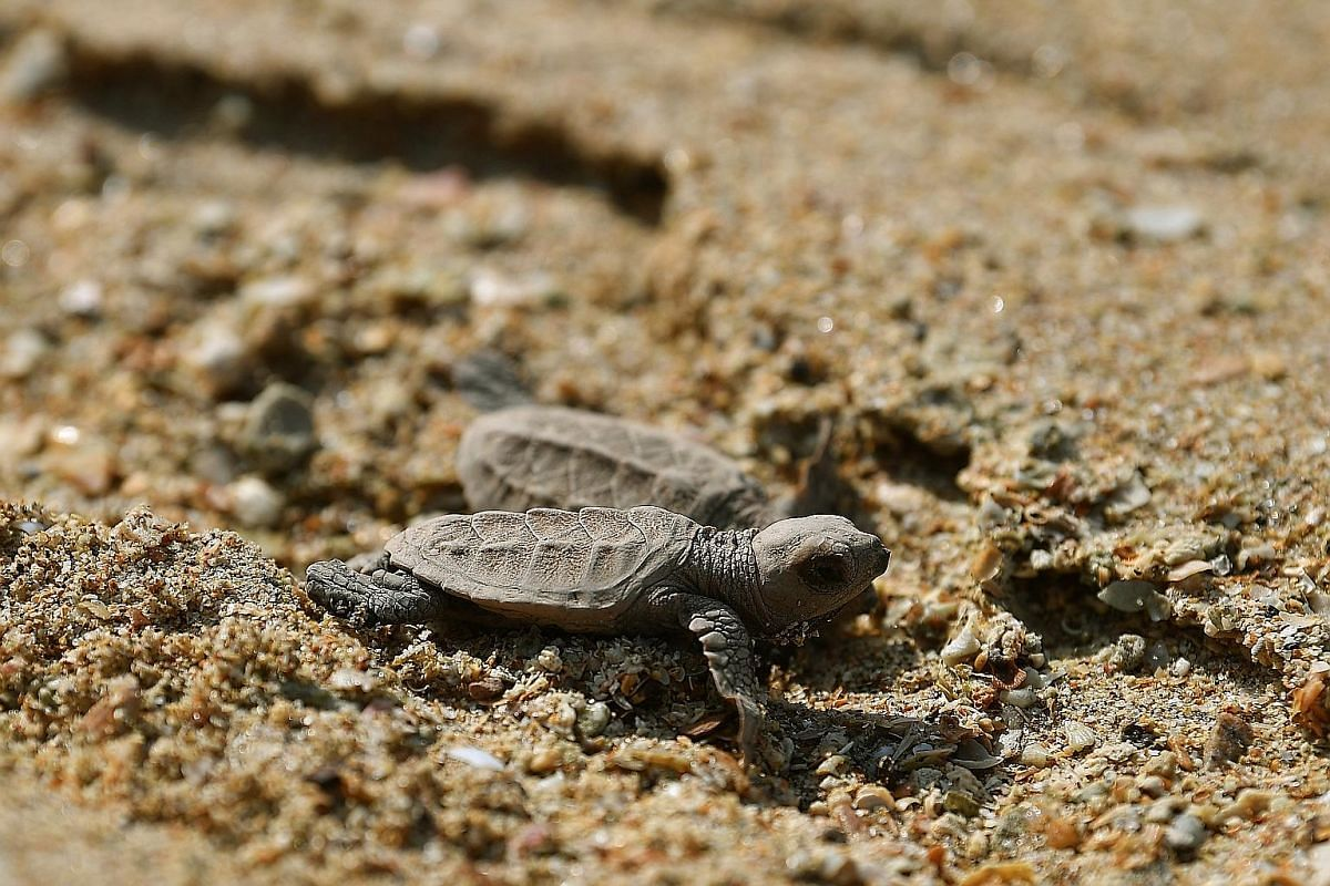 A batch of 90 turtles had hatched at East Coast Park and was released at sea off Sisters' Islands Marine Park last Thursday. This is done so that baby turtles are less likely to encounter predators, which typically hang around the reef. Mr Tan creati