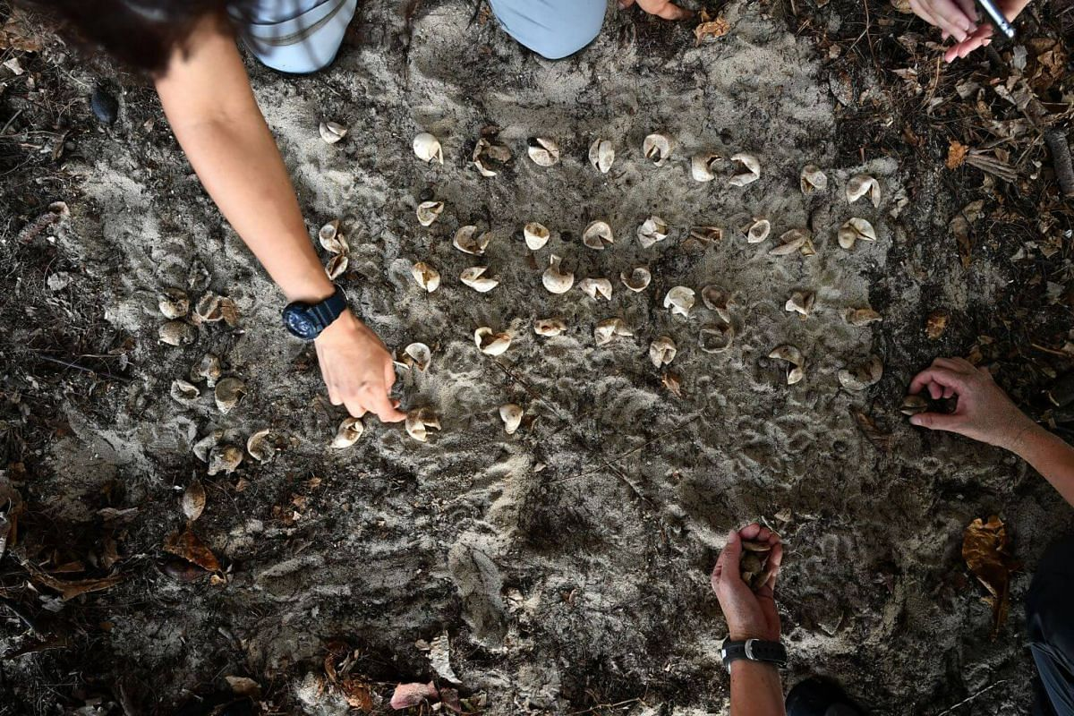 Counting of undeveloped eggs and hatched eggs at East Coast Park on Aug 21, 2019.