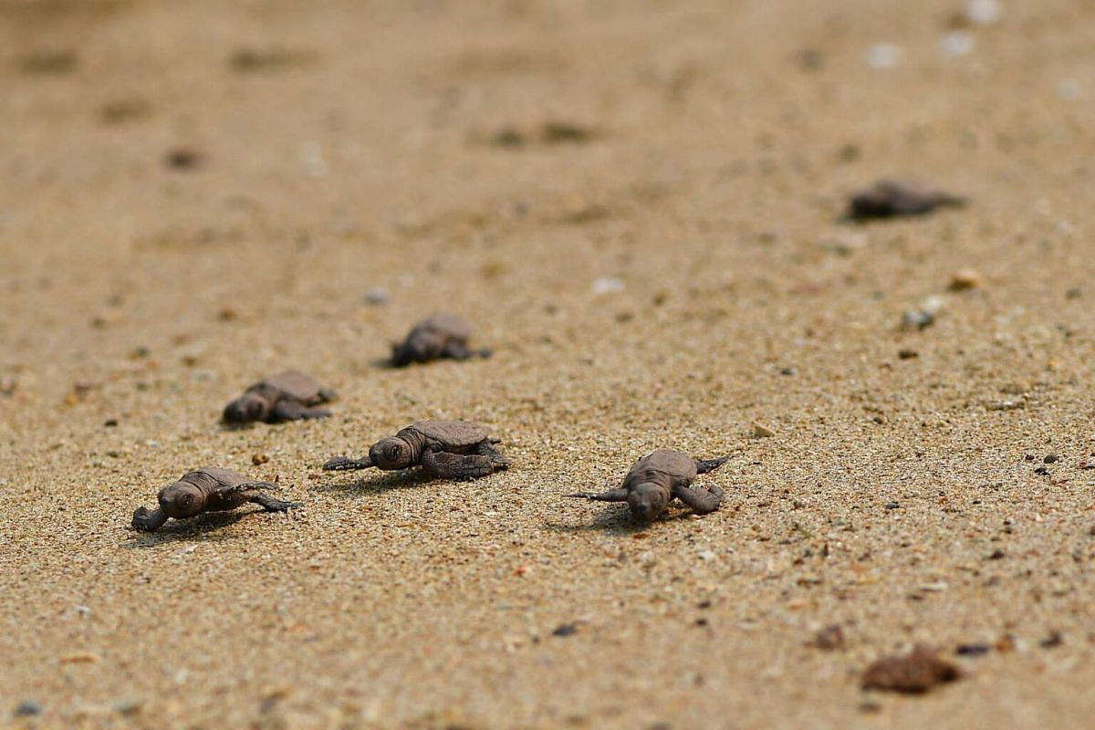 90 turtle hatchlings hatched at East Coast Park and were released into the sea at Sisters' Islands Marine Park on Sept 19, 2019.