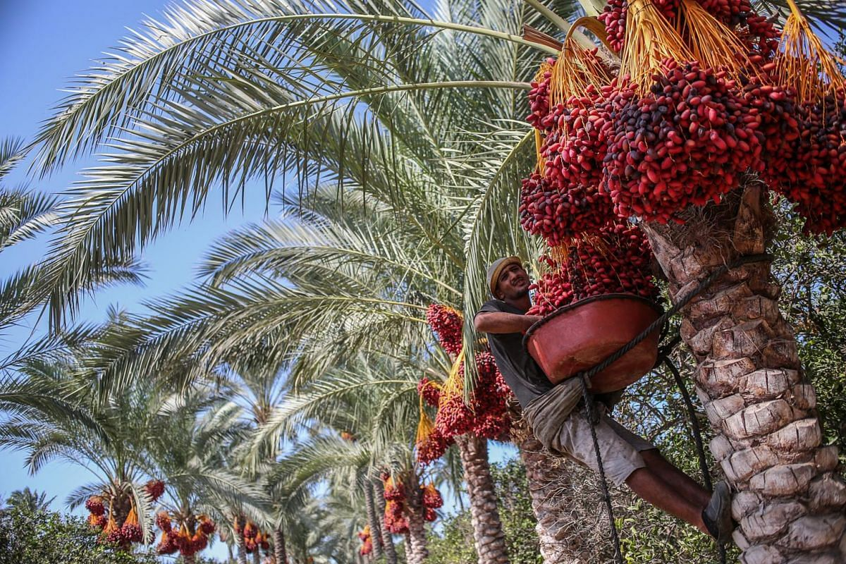 Palestinians pick red dates from palm trees, in Deir al Balah town, the central Gaza Strip, on Oct 6, 2019.