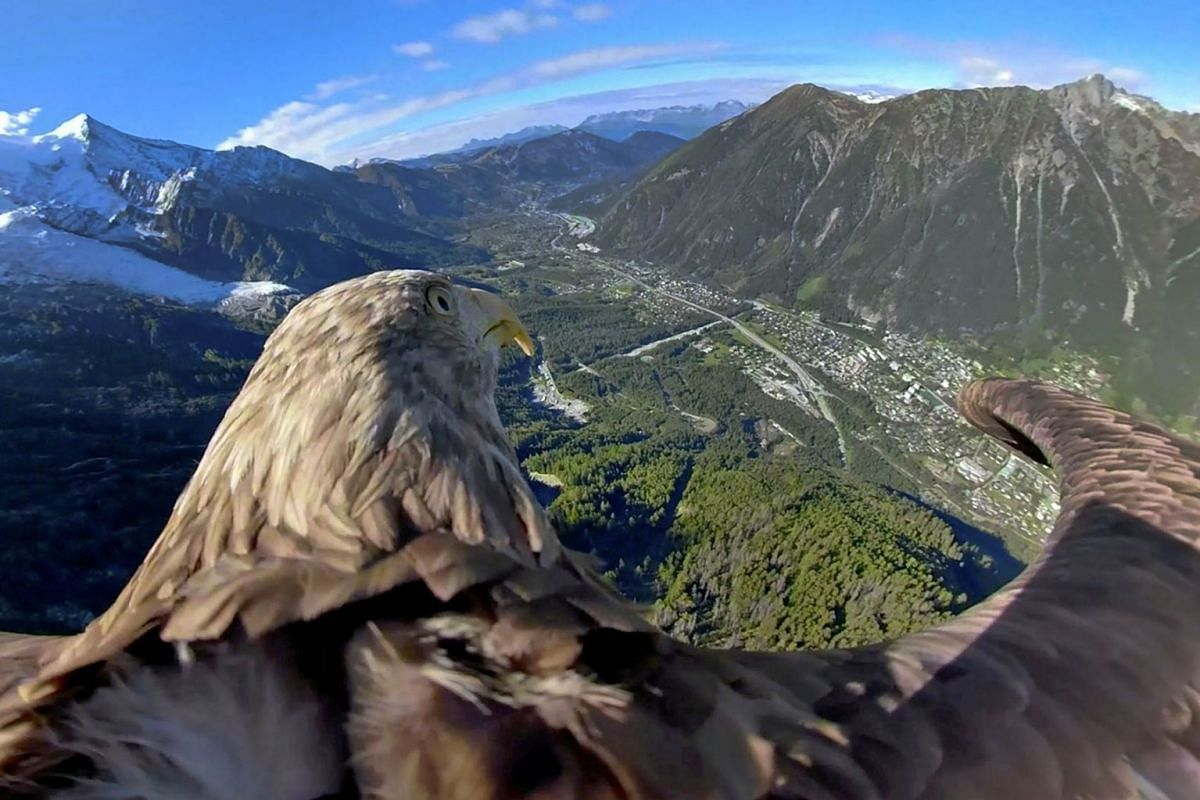 Victor, a nine-year-old white-tailed eagle equipped with a 360 camera, flies over glaciers and mountains in Chamonix, France, during a preparation flight of the Alpine Eagle Race, an event aimed at raising awareness on global warming, in this still i